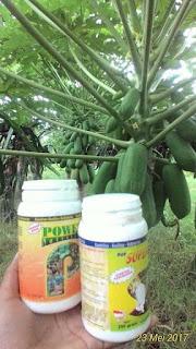 agar tanaman pepaya cepat berbuah