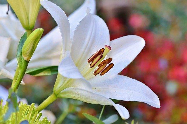 Gambar bunga lili