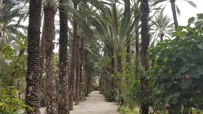 Phoenix dactylifera avenue Elche, Spain