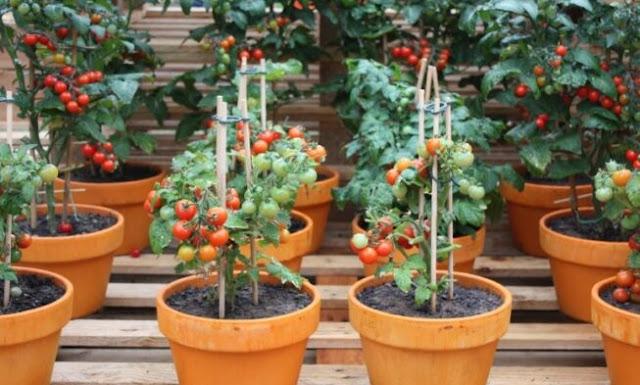 زراعة الطماطم