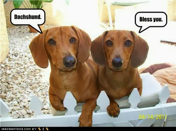 Funny dachund dogs looking at camera