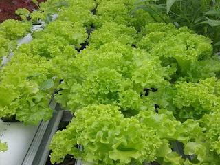 salada hidroponik