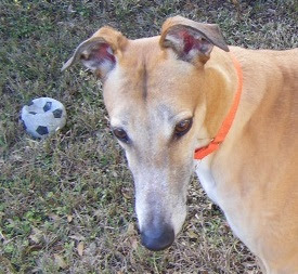 Retired racing greyhound plays with soccer ball