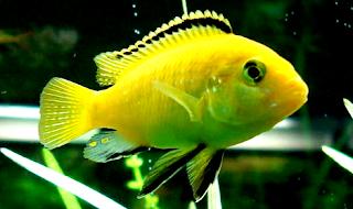 Harga ikan lemon terbaru