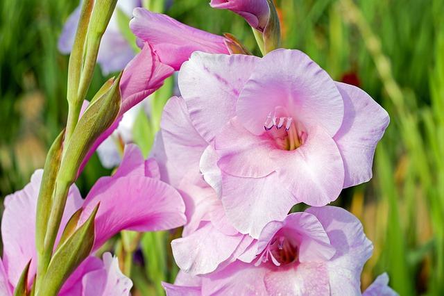 hoa lay ơn đẹp nhất 1