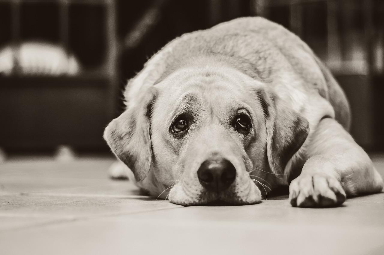 Dépression chez les chiens, que puis-je faire?