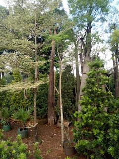 jual tanaman moringga atau kelor afrika terdekat