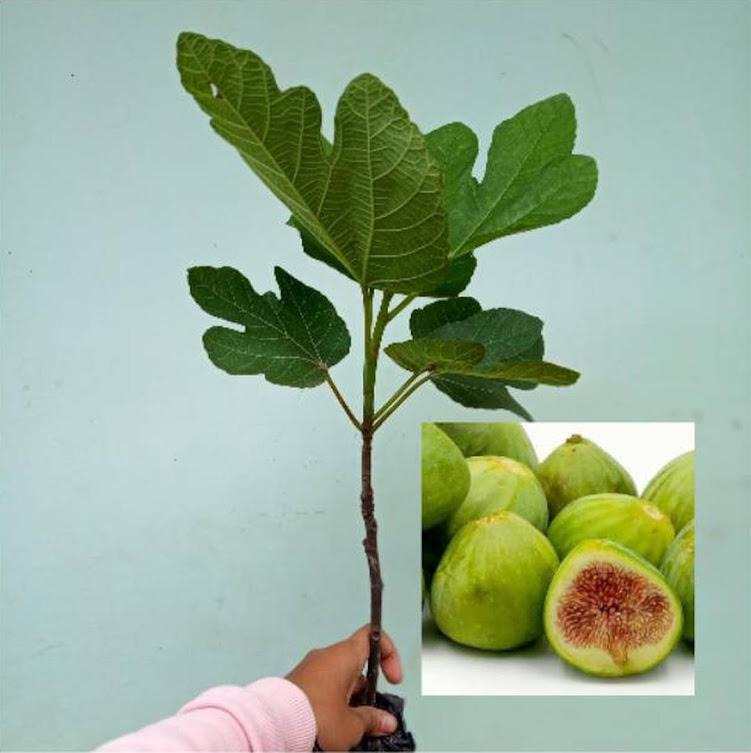 Bibit buah tin green yordan Malang