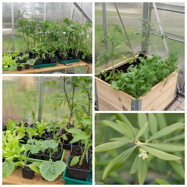 växthusodling