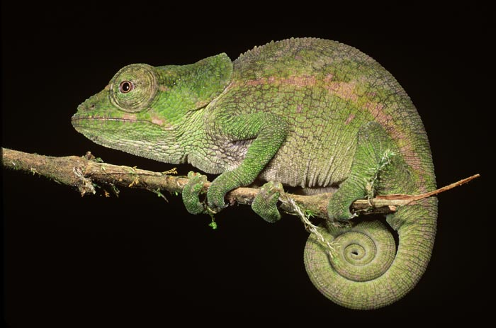 A Light In The Darkness: Chameleon Totem Animal