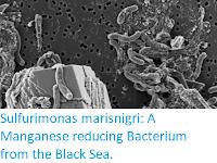 https://sciencythoughts.blogspot.com/2019/06/sulfurimonas-marisnigri-manganese.html