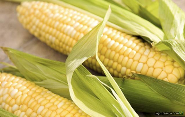 Аграрии собрали всего 24,5 миллионов тонн кукурузы, что меньше, чем в 2016 году
