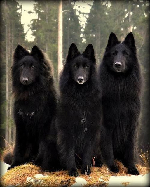 Three Awesome Belgian Shepherds #adorable #shepherd #animals #dogs