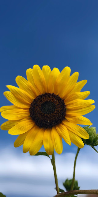 The sunflower under the blue sky