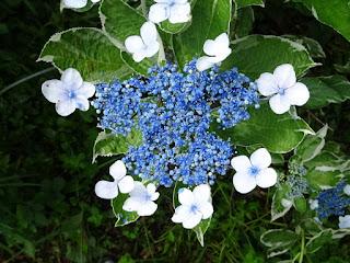 別な種類のガクアジサイの花のアップ写真