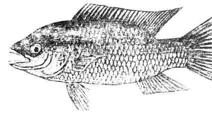 Rahasia Jitu Memancing Ikan Mujair, Ssst... Jangan Sampai
