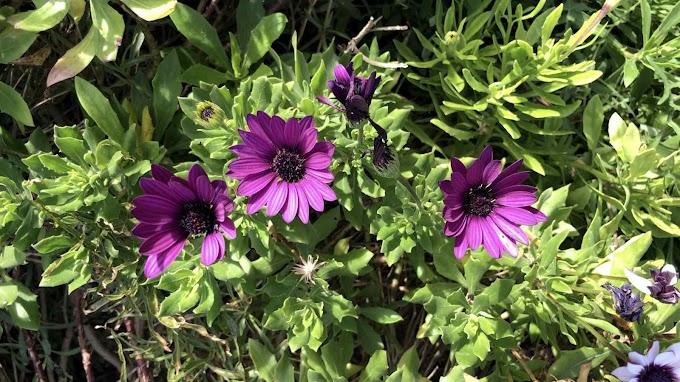 Dimorphoteca Ecklonis Var. Purple