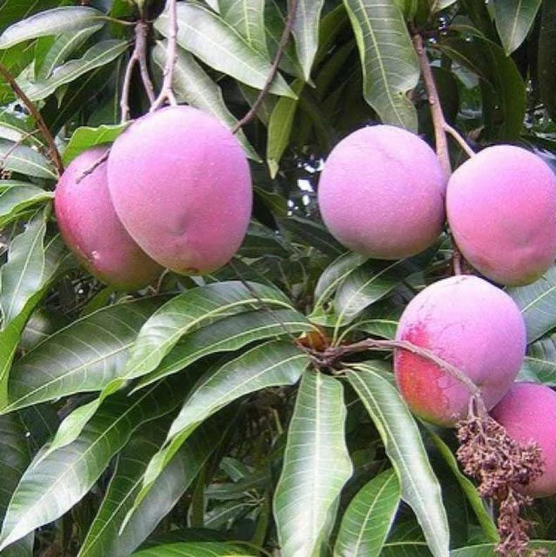 Bibit mangga apel merah Sumatra Utara