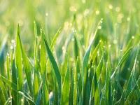 Jenis-jenis Rumput yang Terbaik Untuk Pakan Ternak