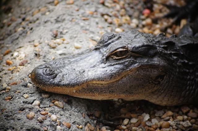 crocodile कहानी  : एक बन्दर और मगरमच्छ  Panchatantra stories- a monkey and a crocodile-www.kaise-hoga.com.JPG