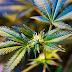 La marihuana se domesticó hace 12.000 años al mismo tiempo que el trigo, demuestra un estudio