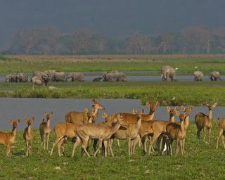 Swamp Deers Kaziranga