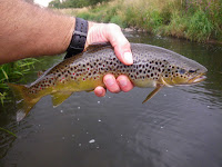 A cracking 1¼lb trout on a Daddy imitation