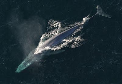 aerial-view-blue-whale
