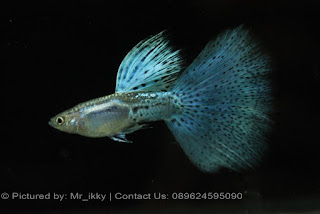 Jual Guppy Blue Italy,  Harga Guppy Blue Italy,  Toko Guppy Blue Italy,  Diskon Guppy Blue Italy,  Beli Guppy Blue Italy,  Review Guppy Blue Italy,  Promo Guppy Blue Italy,  Spesifikasi Guppy Blue Italy,  Guppy Blue Italy Murah,  Guppy Blue Italy Asli,  Guppy Blue Italy Original,  Guppy Blue Italy Jakarta,  Jenis Guppy Blue Italy,  Budidaya Guppy Blue Italy,  Peternak Guppy Blue Italy,  Cara Merawat Guppy Blue Italy,  Tips Merawat Guppy Blue Italy,  Bagaimana cara merawat Guppy Blue Italy,  Bagaimana mengobati Guppy Blue Italy,  Ciri-Ciri Hamil Guppy Blue Italy,  Kandang Guppy Blue Italy,  Ternak Guppy Blue Italy,  Makanan Guppy Blue Italy,  Guppy Blue Italy Termahal,  Adopsi Guppy Blue Italy,  Jual Cepat Guppy Blue Italy,  Guppy Blue Italy  Jakarta,  Guppy Blue Italy  Bandung,  Guppy Blue Italy  Medan,  Guppy Blue Italy  Bali,  Guppy Blue Italy  Makassar,  Guppy Blue Italy  Jambi,  Guppy Blue Italy  Pekanbaru,  Guppy Blue Italy  Palembang,  Guppy Blue Italy  Sumatera,  Guppy Blue Italy  Langsa,  Guppy Blue Italy  Lhokseumawe,  Guppy Blue Italy  Meulaboh,  Guppy Blue Italy  Sabang,  Guppy Blue Italy  Subulussalam,  Guppy Blue Italy  Denpasar,  Guppy Blue Italy  Pangkalpinang,  Guppy Blue Italy  Cilegon,  Guppy Blue Italy  Serang,  Guppy Blue Italy  Tangerang Selatan,  Guppy Blue Italy  Tangerang,  Guppy Blue Italy  Bengkulu,  Guppy Blue Italy  Gorontalo,  Guppy Blue Italy  guppy,  Guppy Blue Italy  tropical fish,  Guppy Blue Italy  aquarium fish,  Guppy Blue Italy  bubble guppies games,  Guppy Blue Italy  guppy fish,  Guppy Blue Italy  bubble guppies videos,  Guppy Blue Italy  bubble guppies episodes,  Guppy Blue Italy  bubble guppies full episodes,  Guppy Blue Italy  super guppy,  Guppy Blue Italy  bubble guppies cast,  Guppy Blue Italy  aquarium online,  Guppy Blue Italy  bubble guppies songs,  Guppy Blue Italy  tetra aquarium,  Guppy Blue Italy  guppies for sale,  Guppy Blue Italy  pregnant guppy,  Guppy Blue Italy  bubble guppies characters,  Guppy Blue Italy  bubble guppy,  Guppy Blue Italy  bubble guppies names,  Guppy Blue Italy  guppies fish,  Guppy Blue Italy  guppy breeding,  Guppy Blue Italy  breeding guppies,  Guppy Blue Italy  bubble guppie,  Guppy Blue Italy  nick jr bubble guppies,  Guppy Blue Italy  bubble guppies coloring pages,  Guppy Blue Italy  bubble guppies video,  Guppy Blue Italy  bubble guppy games,  Guppy Blue Italy  guppy aquarium,  Guppy Blue Italy  guppy care,  Guppy Blue Italy  baby guppies,  Guppy Blue Italy  design aquarium,  Guppy Blue Italy  how to breed guppies,  Guppy Blue Italy  endlers guppy,  Guppy Blue Italy  bubble guppies wiki,  Guppy Blue Italy  bubble guppies game,  Guppy Blue Italy  guppies care,  Guppy Blue Italy  guppy fry,  Guppy Blue Italy  male guppies,  Guppy Blue Italy  buble guppies,  Guppy Blue Italy  guppy fish care,  Guppy Blue Italy  female guppies,  Guppy Blue Italy  female guppy,  Guppy Blue Italy  guppy tank,  Guppy Blue Italy  types of guppies,  Guppy Blue Italy  online aquarium,  Guppy Blue Italy  guppies aquarium,  Guppy Blue Italy  pregnant guppies,  Guppy Blue Italy  guppy giving birth,  Guppy Blue Italy  what do guppies eat,  Guppy Blue Italy  guppy life span,  Guppy Blue Italy  guppy pond,  Guppy Blue Italy  guppy grass,  Guppy Blue Italy  guppies breeding,  Guppy Blue Italy  aquarium guppy,  Guppy Blue Italy  guppies giving birth,  Guppy Blue Italy  bubble guppies pictures,  Guppy Blue Italy  bubble guppies show,  Guppy Blue Italy  male guppy,  Guppy Blue Italy  guppy fish for sale,  Guppy Blue Italy  pregnant guppy fish,  Guppy Blue Italy  endler guppies,  Guppy Blue Italy  guppy babies,  Guppy Blue Italy  the bubble guppies,  Guppy Blue Italy  bubble guppies images,  Guppy Blue Italy  bubble guppies bubble puppy,  Guppy Blue Italy  guppy food,  Guppy Blue Italy  ferplast aquarium,  Guppy Blue Italy  guppy temperature,  Guppy Blue Italy  the binding isaac,  Guppy Blue Italy  guppy tail,  Guppy Blue Italy  the rebirth of isaac,  Guppy Blue Italy  the binding of isaac rebirth guppy,  Guppy Blue Italy  isaac the game,  Guppy Blue Italy  guppie fish,  Guppy Blue Italy  guppy fish breeding,  Guppy Blue Italy  guppy for sale,  Guppy Blue Italy  guppy tank mates,  Guppy Blue Italy  aquarium shop online,  Guppy Blue Italy  guppy gestation,  Guppy Blue Italy  the binding of isaac guppy,  Guppy Blue Italy  keeping guppies,  Guppy Blue Italy  guppy definition,  Guppy Blue Italy  guppy meaning,  Guppy Blue Italy  guppy breathing,  Guppy Blue Italy  fish tropical,  Guppy Blue Italy  endlers guppies,  Guppy Blue Italy  baby guppy,  Guppy Blue Italy  nickelodeon bubble guppies,  Guppy Blue Italy  guppy fish tank,  Guppy Blue Italy  guppy types,  Guppy Blue Italy  guppy fish types,  Guppy Blue Italy  guppy diseases,  Guppy Blue Italy  the binding of isaac 2,  Guppy Blue Italy  isaac the binding,  Guppy Blue Italy  wild guppies,  Guppy Blue Italy  wild guppy,  Guppy Blue Italy  fantail guppies,  Guppy Blue Italy  guppy pregnancy,  Guppy Blue Italy  lyretail guppy,  Guppy Blue Italy  pregnant guppy stages,  Guppy Blue Italy  guppy pregnant,  Guppy Blue Italy  male and female guppies,  Guppy Blue Italy  bubble guppys,  Guppy Blue Italy  guppy birth,  Guppy Blue Italy  do guppies need a heater,  Guppy Blue Italy  pictures of guppies,  Guppy Blue Italy  guppy fish life span,  Guppy Blue Italy  guppy water temperature,  Guppy Blue Italy  show guppies,  Guppy Blue Italy  black guppy,  Guppy Blue Italy  red guppy,  Guppy Blue Italy  binding isaac wiki,  Guppy Blue Italy  binding of isaac 2,  Guppy Blue Italy  moscow guppy,  Guppy Blue Italy  guppy forum,  Guppy Blue Italy  guppies online,  Guppy Blue Italy  fantail guppy,  Guppy Blue Italy  yellow guppy,  Guppy Blue Italy  snakeskin guppy,  Guppy Blue Italy  guppy fry growth chart,  Guppy Blue Italy  guppy fish food,  Guppy Blue Italy  temperature for guppies,  Guppy Blue Italy  water temperature for guppies,  Guppy Blue Italy  guppy games,  Guppy Blue Italy  black moscow guppy,  Guppy Blue Italy  full red guppy,  Guppy Blue Italy  blue moscow guppy,  Guppy Blue Italy  game isaac,  Guppy Blue Italy  male guppy fish,  Guppy Blue Italy  guppy varieties,  Guppy Blue Italy  albino guppy,  Guppy Blue Italy  guppy pregnancy stages,  Guppy Blue Italy  tequila sunrise guppy,  Guppy Blue Italy  guppy fin rot,  Guppy Blue Italy  guppy genetics,  Guppy Blue Italy  pink guppy,  Guppy Blue Italy  the guppy,  Guppy Blue Italy  highland guppy,  Guppy Blue Italy  guppy breeding tank,  Guppy Blue Italy  guppy breeds,  Guppy Blue Italy  show guppies for sale,  Guppy Blue Italy  guppies for sale uk,  Guppy Blue Italy  is my guppy pregnant,  Guppy Blue Italy  guppies having babies,  Guppy Blue Italy  guppy female,  Guppy Blue Italy  guppy fry care,  Guppy Blue Italy  do guppies need a filter,  Guppy Blue Italy  do guppies eat their babies,  Guppy Blue Italy  do guppies sleep,  Guppy Blue Italy  aquarium 40 liter,  Guppy Blue Italy  guppy game,  Guppy Blue Italy  neon guppies,  Guppy Blue Italy  neon guppy,  Guppy Blue Italy  guppy neon,  Guppy Blue Italy  isaac of binding,  Guppy Blue Italy  moscow blue guppy,  Guppy Blue Italy  guppy tail rot,  Guppy Blue Italy  isaac the rebirth,  Guppy Blue Italy  fish guppies,  Guppy Blue Italy  guppies dying,  Guppy Blue Italy  guppy species,  Guppy Blue Italy  guppy gravid spot,  Guppy Blue Italy  the of isaac,  Guppy Blue Italy  breeding guppies for beginners,  Guppy Blue Italy  guppy breeding cycle,  Guppy Blue Italy  female guppies for sale,  Guppy Blue Italy  guppies pregnant,  Guppy Blue Italy  pregnant female guppy,  Guppy Blue Italy  caring for guppies,  Guppy Blue Italy  guppies babies,  Guppy Blue Italy  guppy fry growth,  Guppy Blue Italy  guppy tank setup,  Guppy Blue Italy  guppy fish giving birth,  Guppy Blue Italy  guppy fry food,  Guppy Blue Italy  different types of guppies,  Guppy Blue Italy  types of guppy,  Guppy Blue Italy  guppy pictures,  Guppy Blue Italy  aquarium voor beginners,  Guppy Blue Italy  guppy life cycle,  Guppy Blue Italy  guppies temperature,  Guppy Blue Italy  guppy gestation period,  Guppy Blue Italy  the binding of the isaac,  Guppy Blue Italy  feeding guppies,  Guppy Blue Italy  guppi fish,  Guppy Blue Italy  guppy fish facts,  Guppy Blue Italy  guppy breeders,  Guppy Blue Italy  guppy wiki,  Guppy Blue Italy  freshwater guppies,  Guppy Blue Italy  rare guppies,  Guppy Blue Italy  raising guppies,  Guppy Blue Italy  guppy colors,  Guppy Blue Italy  guppy strains,  Guppy Blue Italy  guppy size,  Guppy Blue Italy  turquoise guppy,  Guppy Blue Italy  leopard guppy,  Guppy Blue Italy  guppy love,  Guppy Blue Italy  guppy images,  Guppy Blue Italy  guppy plant,  Guppy Blue Italy  water temp for guppies,  Guppy Blue Italy  guppy breeding setup,  Guppy Blue Italy  guppies for sale online,  Guppy Blue Italy  guppys aquarium,  Guppy Blue Italy  guppy fish pregnant,  Guppy Blue Italy  guppy care sheet,  Guppy Blue Italy  endler guppy hybrid,  Guppy Blue Italy  baby guppy fish,  Guppy Blue Italy  female guppy fish,  Guppy Blue Italy  bubble guppies nickelodeon,  Guppy Blue Italy  guppy tanks,  Guppy Blue Italy  guppies food,  Guppy Blue Italy  best food for guppies,  Guppy Blue Italy  tropical guppies,  Guppy Blue Italy  black guppy fish,  Guppy Blue Italy  black moscow guppies,  Guppy Blue Italy  gestation period for guppies,  Guppy Blue Italy  blue neon guppy,  Guppy Blue Italy  red mosaic guppy,  Guppy Blue Italy  betta and guppies,  Guppy Blue Italy  guppy fishes,  Guppy Blue Italy  fish compatible with guppies,  Guppy Blue Italy  what is a guppy fish,  Guppy Blue Italy  guppy s,  Guppy Blue Italy  guppy guppy,  Guppy Blue Italy  guppy facts,  Guppy Blue Italy  guppy behavior,  Guppy Blue Italy  green guppy,  Guppy Blue Italy  white guppy,  Guppy Blue Italy  guppy dropsy,  Guppy Blue Italy  purple guppy,  Guppy Blue Italy  bloated guppy,  Guppy Blue Italy  angelfish and guppies,  Guppy Blue Italy  fin rot guppy,  Guppy Blue Italy  guppies keep dying,  Guppy Blue Italy  mollies and guppies,  Guppy Blue Italy  stages of guppy pregnancy,  Guppy Blue Italy  south african guppies,  Guppy Blue Italy  mosaic guppy,  Guppy Blue Italy  guppy cartoon,  Guppy Blue Italy  breeding guppy,  Guppy Blue Italy  aquarium guppies,  Guppy Blue Italy  pregnant guppie,  Guppy Blue Italy  female guppy pregnant,  Guppy Blue Italy  guppy tank size,  Guppy Blue Italy  guppies tank mates,  Guppy Blue Italy  do guppies give live birth,  Guppy Blue Italy  buy guppies,  Guppy Blue Italy  food for guppies,  Guppy Blue Italy  types of guppy fish,  Guppy Blue Italy  guppy disease,  Guppy Blue Italy  tropical fish guppies,  Guppy Blue Italy  black guppies,  Guppy Blue Italy  guppy black,  Guppy Blue Italy  red guppies,  Guppy Blue Italy  red guppy fish,  Guppy Blue Italy  moscow guppies,  Guppy Blue Italy  guppies and bettas,  Guppy Blue Italy  guppy fish information,  Guppy Blue Italy  guppy fish images,  Guppy Blue Italy  all about guppies,  Guppy Blue Italy  guppy breeder,  Guppy Blue Italy  guppys online,  Guppy Blue Italy  guppy poecilia reticulata,  Guppy Blue Italy  guppy a,  Guppy Blue Italy  purple guppies,  Guppy Blue Italy  beautiful guppies,  Guppy Blue Italy  guppy pdf,  Guppy Blue Italy  guppy swimming vertically,  Guppy Blue Italy  guppy names,  Guppy Blue Italy  yellow guppies,  Guppy Blue Italy  male guppies fighting,  Guppy Blue Italy  guppies and tetras,  Guppy Blue Italy  saltwater guppies,  Guppy Blue Italy  guppies and mollies,  Guppy Blue Italy  the guppies,  Guppy Blue Italy  breeding guppies in community tank,  Guppy Blue Italy  breed guppies,  Guppy Blue Italy  live guppies for sale,  Guppy Blue Italy  guppies fish for sale,  Guppy Blue Italy  breeding guppies for profit,  Guppy Blue Italy  guppies aquarium products,  Guppy Blue Italy  taking care of guppies,  Guppy Blue Italy  guppies fish care,  Guppy Blue Italy  john endler guppies,  Guppy Blue Italy  guppy fish babies,  Guppy Blue Italy  male and female guppy,  Guppy Blue Italy  guppy fry development,  Guppy Blue Italy  guppy fry stages,  Guppy Blue Italy  guppies fish tank,  Guppy Blue Italy  guppies tank,  Guppy Blue Italy  guppy fry tank,  Guppy Blue Italy  female guppy giving birth,  Guppy Blue Italy  pregnant guppy giving birth,  Guppy Blue Italy  guppies birth,  Guppy Blue Italy  guppy give birth,  Guppy Blue Italy  guppies types,  Guppy Blue Italy  how much do guppies cost,  Guppy Blue Italy  do guppies eat algae,  Guppy Blue Italy  guppy diseases pictures,  Guppy Blue Italy  pregnant guppy pictures,  Guppy Blue Italy  pictures of guppy fish,  Guppy Blue Italy  guppy fish diseases,  Guppy Blue Italy  show guppy,  Guppy Blue Italy  guppy tropical fish,  Guppy Blue Italy  guppies tropical fish,  Guppy Blue Italy  half black guppy,  Guppy Blue Italy  neon blue guppy,  Guppy Blue Italy  guppies and neon tetras,  Guppy Blue Italy  binding of the isaac,  Guppy Blue Italy  moscow blue guppies,  Guppy Blue Italy  of isaac game,  Guppy Blue Italy  feeding guppy fry,  Guppy Blue Italy  game the binding of isaac,  Guppy Blue Italy  the binding of isaac the game,  Guppy Blue Italy  blue guppy fish,  Guppy Blue Italy  fish that can live with guppies,  Guppy Blue Italy  images of guppy fish,  Guppy Blue Italy  guppy online,  Guppy Blue Italy  albino guppies,  Guppy Blue Italy  pics of guppies,  Guppy Blue Italy  my guppies keep dying,  Guppy Blue Italy  guppy colours,  Guppy Blue Italy  guppy growth chart,  Guppy Blue Italy  golden guppy,  Guppy Blue Italy  colorful guppies,  Guppy Blue Italy  columnaris guppy,  Guppy Blue Italy  guppy diet,  Guppy Blue Italy  dragon guppy,  Guppy Blue Italy  atfg guppy,  Guppy Blue Italy  blue diamond guppy,  Guppy Blue Italy  gold guppy,  Guppy Blue Italy  guppy scientific name,  Guppy Blue Italy  guppies fighting,  Guppy Blue Italy  pingu guppy,  Guppy Blue Italy  trinidadian guppies,  Guppy Blue Italy  dropsy guppy,  Guppy Blue Italy  fat guppy,  Guppy Blue Italy  guppy guppies,  Guppy Blue Italy  guppy singapore,  Guppy Blue Italy  sunset guppy,  Guppy Blue Italy  guppy natural habitat,  Guppy Blue Italy  guppies breeding cycle,  Guppy Blue Italy  breeding tank for guppies,  Guppy Blue Italy  guppy breeding guide,  Guppy Blue Italy  guppies fish breeding,  Guppy Blue Italy  guppy breeding trap,  Guppy Blue Italy  guppy breeding tank setup,  Guppy Blue Italy  guppy sale,  Guppy Blue Italy  rare guppies for sale,  Guppy Blue Italy  endler guppies for sale,  Guppy Blue Italy  aquarium de guppy,  Guppy Blue Italy  pregnant guppy behavior,  Guppy Blue Italy  guppie care,  Guppy Blue Italy  guppy care guide,  Guppy Blue Italy  baby guppy care,  Guppy Blue Italy  guppy having babies,  Guppy Blue Italy  guppies male or female,  Guppy Blue Italy  guppies female,  Guppy Blue Italy  guppy fish female,  Guppy Blue Italy  guppies fry,  Guppy Blue Italy  raising guppy fry,  Guppy Blue Italy  guppy birth signs,  Guppy Blue Italy  guppies live birth,  Guppy Blue Italy  guppy fish pictures,  Guppy Blue Italy  guppies pictures,  Guppy Blue Italy  female guppy pictures,  Guppy Blue Italy  life cycle of a guppy,  Guppy Blue Italy  guppies water temperature,  Guppy Blue Italy  tropical fish guppy,  Guppy Blue Italy  tropical guppy,  Guppy Blue Italy  moscow black guppy,  Guppy Blue Italy  neon tetras and guppies,  Guppy Blue Italy  guppy tails,  Guppy Blue Italy  guppy feeding,  Guppy Blue Italy  bettas and guppies,  Guppy Blue Italy  guppies and betta,  Guppy Blue Italy  can guppies live with bettas,  Guppy Blue Italy  guppy fish price,  Guppy Blue Italy  guppy fish varieties,  Guppy Blue Italy  wild guppy fish,  Guppy Blue Italy  guppys fish,  Guppy Blue Italy  guppies information,  Guppy Blue Italy  free guppies,  Guppy Blue Italy  blue glass guppy,  Guppy Blue Italy  guppy d,  Guppy Blue Italy  pink guppies,  Guppy Blue Italy  guppy behaviour,  Guppy Blue Italy  common guppy,  Guppy Blue Italy  ribbon guppy,  Guppy Blue Italy  kinds of guppies,  Guppy Blue Italy  gonopodium guppy,  Guppy Blue Italy  rare guppy,  Guppy Blue Italy  guppy compatibility,  Guppy Blue Italy  pretty guppies,  Guppy Blue Italy  snakeskin guppies,  Guppy Blue Italy  guppy anatomy,  Guppy Blue Italy  green guppies,  Guppy Blue Italy  guppies in the wild,  Guppy Blue Italy  guppy growth,  Guppy Blue Italy  guppy water temp,  Guppy Blue Italy  guppy swim bladder,  Guppy Blue Italy  german yellow guppy,  Guppy Blue Italy  guppy videos,  Guppy Blue Italy  cartoon guppy,  Guppy Blue Italy  guppy not eating,  Guppy Blue Italy  exotic guppy,  Guppy Blue Italy  breeding guppys,  Guppy Blue Italy  breeding guppy fish,  Guppy Blue Italy  guppies for sale cheap,  Guppy Blue Italy  guppy breed,  Guppy Blue Italy  cheap guppies for sale,  Guppy Blue Italy  wild guppies for sale,  Guppy Blue Italy  guppys for sale,  Guppy Blue Italy  baby guppies for sale,  Guppy Blue Italy  guppy fry for sale,  Guppy Blue Italy  guppy fish aquarium,  Guppy Blue Italy  aquarium fish guppy,  Guppy Blue Italy  care for guppies,  Guppy Blue Italy  bubble guppies nick,  Guppy Blue Italy  nick bubble guppies,  Guppy Blue Italy  guppie fry,  Guppy Blue Italy  caring for guppy fry,  Guppy Blue Italy  guppy fish tanks,  Guppy Blue Italy  female guppies giving birth,  Guppy Blue Italy  where to buy guppies,  Guppy Blue Italy  fish food for guppies,  Guppy Blue Italy  pictures of pregnant guppies,  Guppy Blue Italy  albino red guppy,  Guppy Blue Italy  moscow green guppy,  Guppy Blue Italy  purple moscow guppies,  Guppy Blue Italy  isaac of rebirth,  Guppy Blue Italy  feeding baby guppies,  Guppy Blue Italy  guppy photo,  Guppy Blue Italy  game binding of isaac,  Guppy Blue Italy  a guppy fish,  Guppy Blue Italy  compatible fish with guppies,  Guppy Blue Italy  live guppies,  Guppy Blue Italy  poecilia reticulata guppy,  Guppy Blue Italy  exotic guppies,  Guppy Blue Italy  guppy price,  Guppy Blue Italy  guppy video,  Guppy Blue Italy  guppy wallpaper,  Guppy Blue Italy  white guppies,  Guppy Blue Italy  lyretail guppies,  Guppy Blue Italy  small guppies,  Guppy Blue Italy  guppy mouth,  Guppy Blue Italy  blonde guppy,  Guppy Blue Italy  peacock guppy,  Guppy Blue Italy  looking after guppies,  Guppy Blue Italy  guppy bent spine,  Guppy Blue Italy  plants for guppies,  Guppy Blue Italy  guppy predators,  Guppy Blue Italy  beautiful guppy,  Guppy Blue Italy  guppy eyes,  Guppy Blue Italy  guppy gonopodium,  Guppy Blue Italy  singapore guppy,  Guppy Blue Italy  dropsy in guppies,  Guppy Blue Italy  guppy fungus,  Guppy Blue Italy  gubbi fish,  Guppy Blue Italy  selective breeding guppies,  Guppy Blue Italy  breeding mollies and guppies,  Guppy Blue Italy  breeds of guppies,  Guppy Blue Italy  guppies sale,  Guppy Blue Italy  guppy breeding net,  Guppy Blue Italy  rare guppy breeds,  Guppy Blue Italy  guppie breeding,  Guppy Blue Italy  albino guppies for sale,  Guppy Blue Italy  blue guppies for sale,  Guppy Blue Italy  pregnant guppies for sale,  Guppy Blue Italy  guppy aquariums,  Guppy Blue Italy  aquarium a guppy,  Guppy Blue Italy  care of guppies,  Guppy Blue Italy  baby guppies care,  Guppy Blue Italy  guppy baby fish,  Guppy Blue Italy  guppy male female,  Guppy Blue Italy  male female guppies,  Guppy Blue Italy  bubble guppies on nick jr,  Guppy Blue Italy  guppy breeder tank,  Guppy Blue Italy  buy guppy fish,  Guppy Blue Italy  baby guppy food,  Guppy Blue Italy  type of guppies,  Guppy Blue Italy  do guppies need air pump,  Guppy Blue Italy  pictures of guppies fish,  Guppy Blue Italy  picture of guppies,  Guppy Blue Italy  female guppies pictures,  Guppy Blue Italy  guppy picture,  Guppy Blue Italy  guppies life span,  Guppy Blue Italy  life span of guppies,  Guppy Blue Italy  guppy life expectancy,  Guppy Blue Italy  show quality guppies,  Guppy Blue Italy  breeding show guppies,  Guppy Blue Italy  tropical guppy fish,  Guppy Blue Italy  guppy fish game,  Guppy Blue Italy  guppies gestation period,  Guppy Blue Italy  guppies gestation,  Guppy Blue Italy  fan tail guppies,  Guppy Blue Italy  fan tailed guppies,  Guppy Blue Italy  dragon tail guppy,  Guppy Blue Italy  the rebirth of isaac game,  Guppy Blue Italy  the isaac game,  Guppy Blue Italy  guppies feeding,  Guppy Blue Italy  guppy photos,  Guppy Blue Italy  about guppy fish,  Guppy Blue Italy  yellow guppy fish,  Guppy Blue Italy  guppy fish bowl,  Guppy Blue Italy  selling guppies,  Guppy Blue Italy  guppy pics,  Guppy Blue Italy  about guppies,  Guppy Blue Italy  ifga guppies,  Guppy Blue Italy  taiwan guppy,  Guppy Blue Italy  guppies price,  Guppy Blue Italy  different kinds of guppies,  Guppy Blue Italy  guppy blog,  Guppy Blue Italy  guppy plants,  Guppy Blue Italy  guppy green,  Guppy Blue Italy  tankmates for guppies,  Guppy Blue Italy  freshwater guppy,  Guppy Blue Italy  tequila sunrise guppies,  Guppy Blue Italy  endless guppy,  Guppy Blue Italy  platies and guppies,  Guppy Blue Italy  guppy parasites,  Guppy Blue Italy  guppy pet,  Guppy Blue Italy  guppy illness,  Guppy Blue Italy  pet guppies,  Guppy Blue Italy  guppy white,  Guppy Blue Italy  guppies species,  Guppy Blue Italy  hybrid guppies,  Guppy Blue Italy  breeding tanks for guppies,  Guppy Blue Italy  guppy breeding tanks,  Guppy Blue Italy  guppy care and breeding,  Guppy Blue Italy  breeding guppies for feeders,  Guppy Blue Italy  guppy fish sale,  Guppy Blue Italy  breeding guppies for sale,  Guppy Blue Italy  guppy aquarium fish,  Guppy Blue Italy  aquarium guppy fish,  Guppy Blue Italy  guppies aquariums,  Guppy Blue Italy  pregnant guppys,  Guppy Blue Italy  pregnant female guppies,  Guppy Blue Italy  raising baby guppies,  Guppy Blue Italy  guppy fry color,  Guppy Blue Italy  guppy fry size,  Guppy Blue Italy  guppy birthing process,  Guppy Blue Italy  buying guppies,  Guppy Blue Italy  buy guppy fish online,  Guppy Blue Italy  buy guppy,  Guppy Blue Italy  homemade guppy food,  Guppy Blue Italy  pictures of female guppies,  Guppy Blue Italy  pictures of baby guppies,  Guppy Blue Italy  guppies diseases,  Guppy Blue Italy  guppy diseases symptoms,  Guppy Blue Italy  life cycle of guppies,  Guppy Blue Italy  guppy shows,  Guppy Blue Italy  show guppy breeders,  Guppy Blue Italy  is a guppy a tropical fish,  Guppy Blue Italy  binding the isaac,  Guppy Blue Italy  the of isaac game,  Guppy Blue Italy  the game isaac,  Guppy Blue Italy  guppy fish photos,  Guppy Blue Italy  photos of guppies,  Guppy Blue Italy  binding isaac game,  Guppy Blue Italy  binding game,  Guppy Blue Italy  guppies fishing report,  Guppy Blue Italy  all about guppy fish,  Guppy Blue Italy  the guppy fish,  Guppy Blue Italy  how much are guppy fish,  Guppy Blue Italy  is a guppy a fish,  Guppy Blue Italy  guppy fish wiki,  Guppy Blue Italy  guppies fish bowl,  Guppy Blue Italy  cheap guppies,  Guppy Blue Italy  fresh water guppies,  Guppy Blue Italy  how to sell guppies,  Guppy Blue Italy  pond guppies,  Guppy Blue Italy  information about guppies,  Guppy Blue Italy  guppy illnesses,  Guppy Blue Italy  guppy hatchery,  Guppy Blue Italy  guppy store,  Guppy Blue Italy  guppies fin rot,  Guppy Blue Italy  common guppies,  Guppy Blue Italy  guppy prices,  Guppy Blue Italy  guppy mouth fungus,  Guppy Blue Italy  singapore guppies,  Guppy Blue Italy  guppy book,  Guppy Blue Italy  large guppy,  Guppy Blue Italy  breading guppies,  Guppy Blue Italy  malaysia guppy,  Guppy Blue Italy  aggressive guppies,  Guppy Blue Italy  guppies diet,  Guppy Blue Italy  my guppy,  Guppy Blue Italy  robert john lechmere guppy,  Guppy Blue Italy  guppy breading,  Guppy Blue Italy  guppy forums,  Guppy Blue Italy  guppies pics,  Guppy Blue Italy  guppy fin rot treatment,  Guppy Blue Italy  the re-birth,  Guppy Blue Italy  the binding rebirth,  Guppy Blue Italy  guppies aquarium supplies,  Guppy Blue Italy  aquarium mit guppys,  Guppy Blue Italy  guppys im aquarium,  Guppy Blue Italy  fry guppy,  Guppy Blue Italy  where can i buy guppies,  Guppy Blue Italy  breeding guppies for food,  Guppy Blue Italy  guppy fish picture,  Guppy Blue Italy  binding of isaac original,  Guppy Blue Italy  the isaac of binding,  Guppy Blue Italy  rebirth of isaac game,  Guppy Blue Italy  game of isaac,  Guppy Blue Italy  guppies photos,  Guppy Blue Italy  guppy fish breeders,  Guppy Blue Italy  what is guppy fish,  Guppy Blue Italy  guppy water conditions,  Guppy Blue Italy  german guppies,  Guppy Blue Italy  laser beam guppy,  Guppy Blue Italy  the binding of rebirth,  Guppy Blue Italy  the binding of isaac a,  Guppy Blue Italy  guppy rebirth,