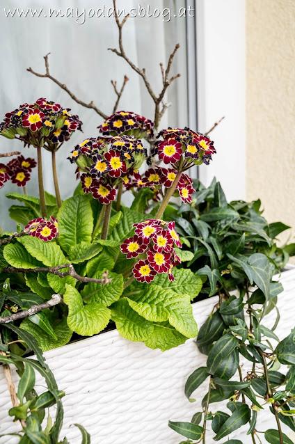 Primel und Efeu im Blumenkasten