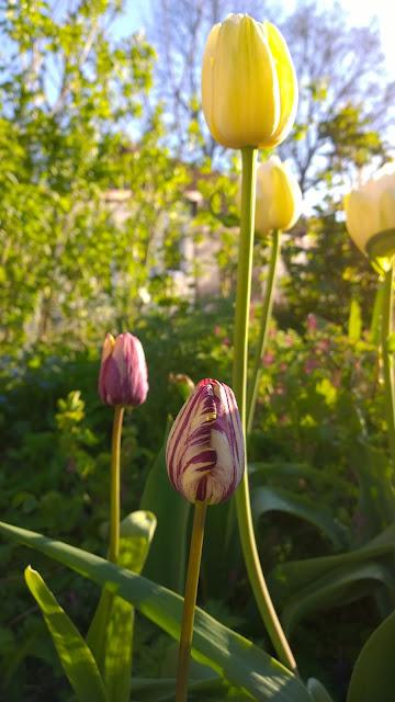 gestreifte Insulinde neben unbekannter cremefarbener Tulpe (c) by Joachim Wenk