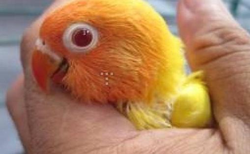 Gambar Lovebird Lutino Mata Merah