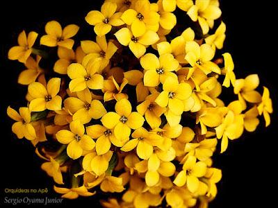 Flor da Fortuna - Kalanchoe blossfeldiana