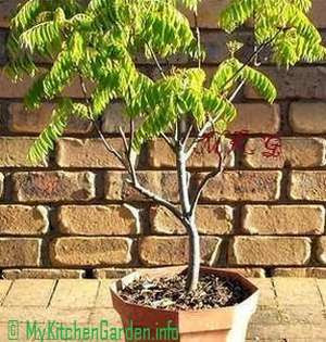 Curry Leaf Plant or Curry Patta Plant in a Pot