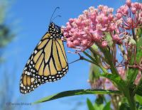 Female Monarch butterfly on Swamp milkweed - © Denise Motard