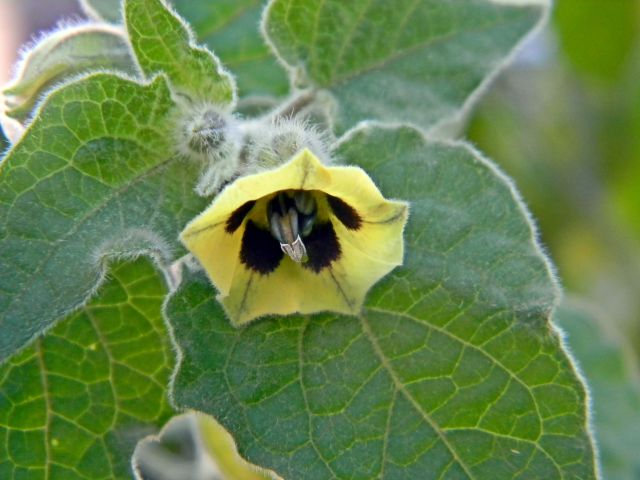 kwiat rodzynki brazylijskiej, uprawa rodzynki