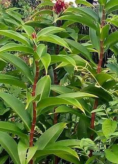 Suplier tanaman hias murah di kediri