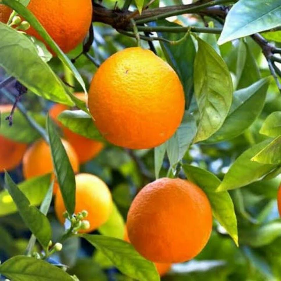 COD bibit jeruk sunkist hasil okulasi bisa di tanam di pot Sulawesi Tenggara