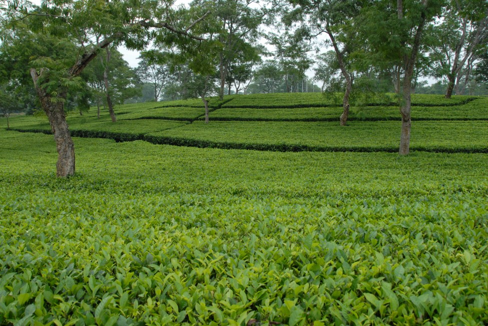 Mature Tea Garden, Cinnamara