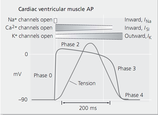 Cardiac ventricular muscle AP