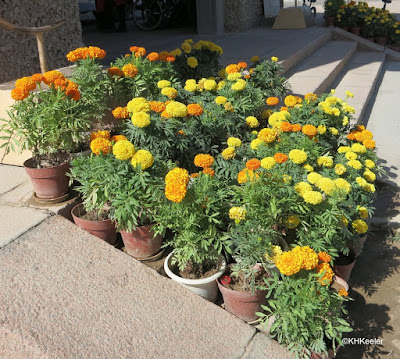 African marigolds, Tagetes erecta