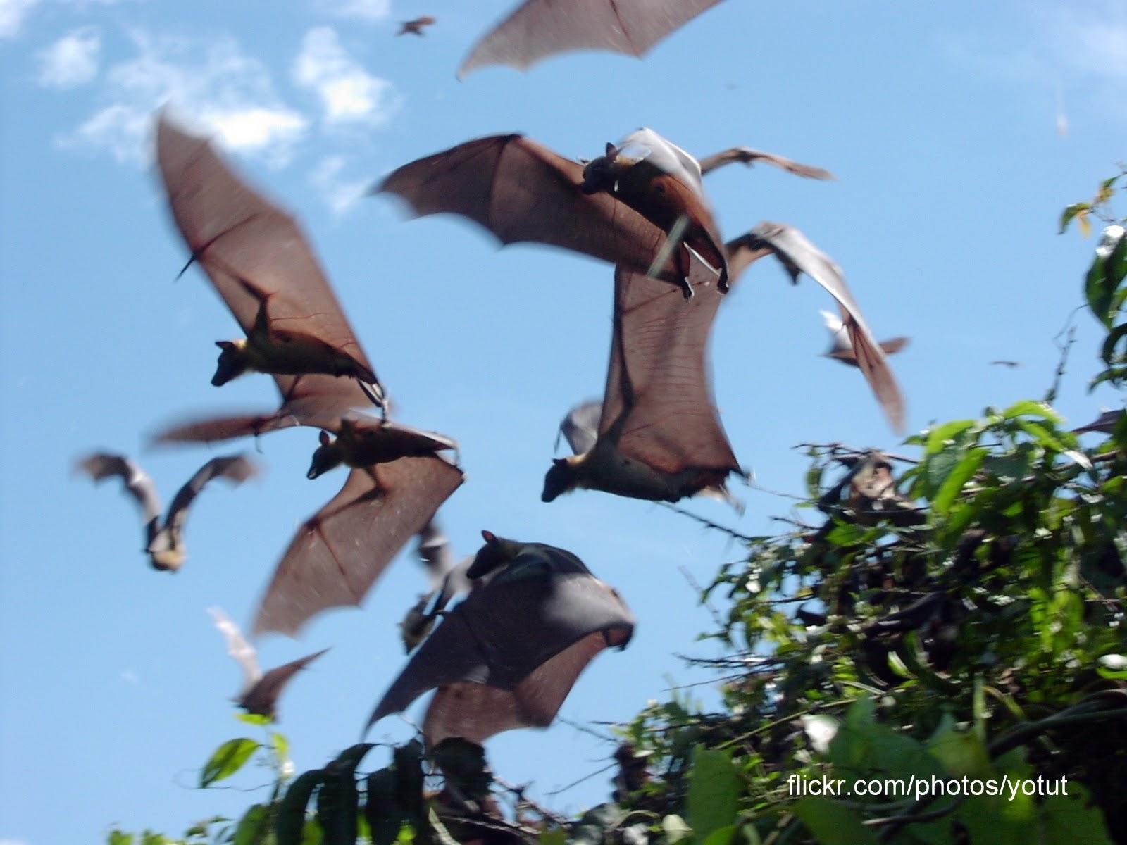 Megabats Uganda Africa Flying-foxes Fruit bats