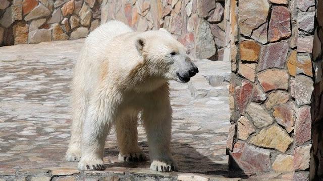 Εκκένωση οικισμού στη Ρωσία που έχει κατακλυστεί από πολικές αρκούδες