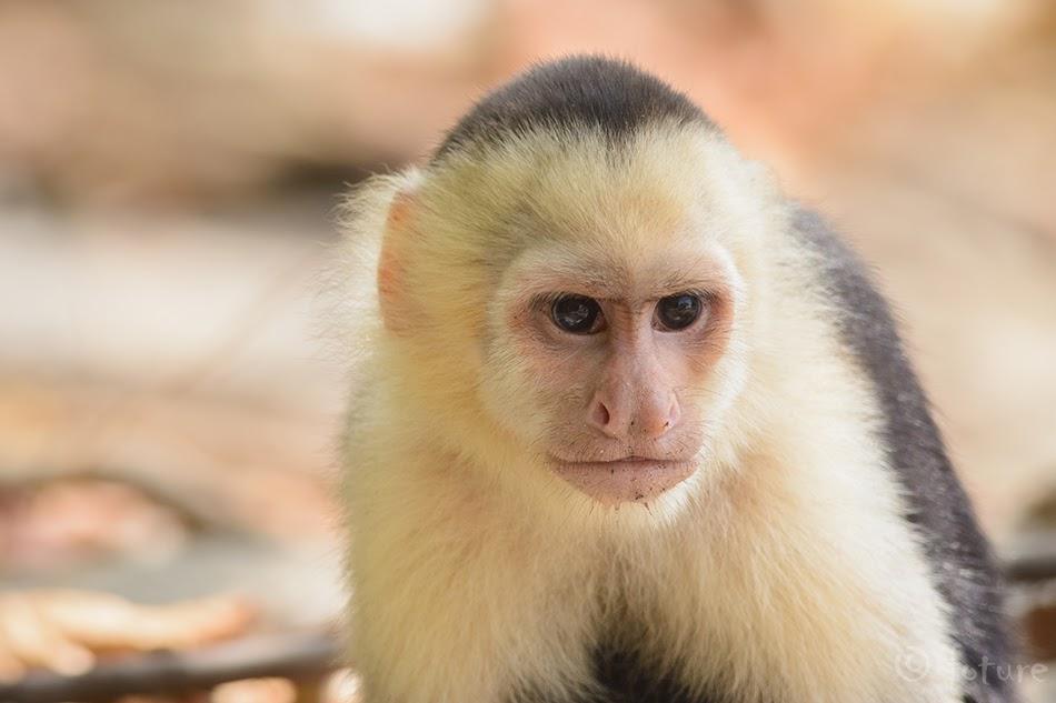 Valgepea kaputsiinahv, Cebus imitator, Panamanian white-faced capuchin, ahv, headed, Central American