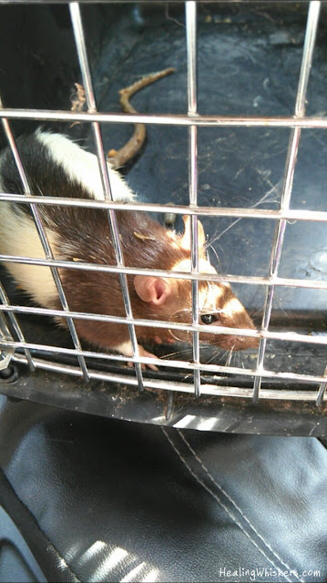 Kingston the Rescue Rat being transported home
