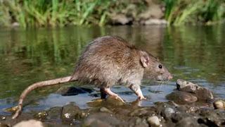 merupakan salah satu jenis penyakit yang harus diwaspadai terutama pada demam isu hujan Waspada Penyakit Leptospirosis yang Mematikan