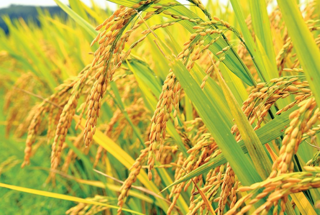 BARI released rice verities