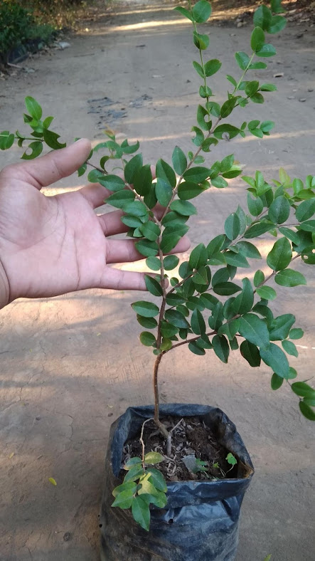 Bibit Tanaman Buah Anggur Brazil Bibit Pohon Anggur Brazil Murah Kalimantan Tengah