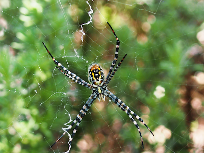 Australian banded orb spider with zig zag web