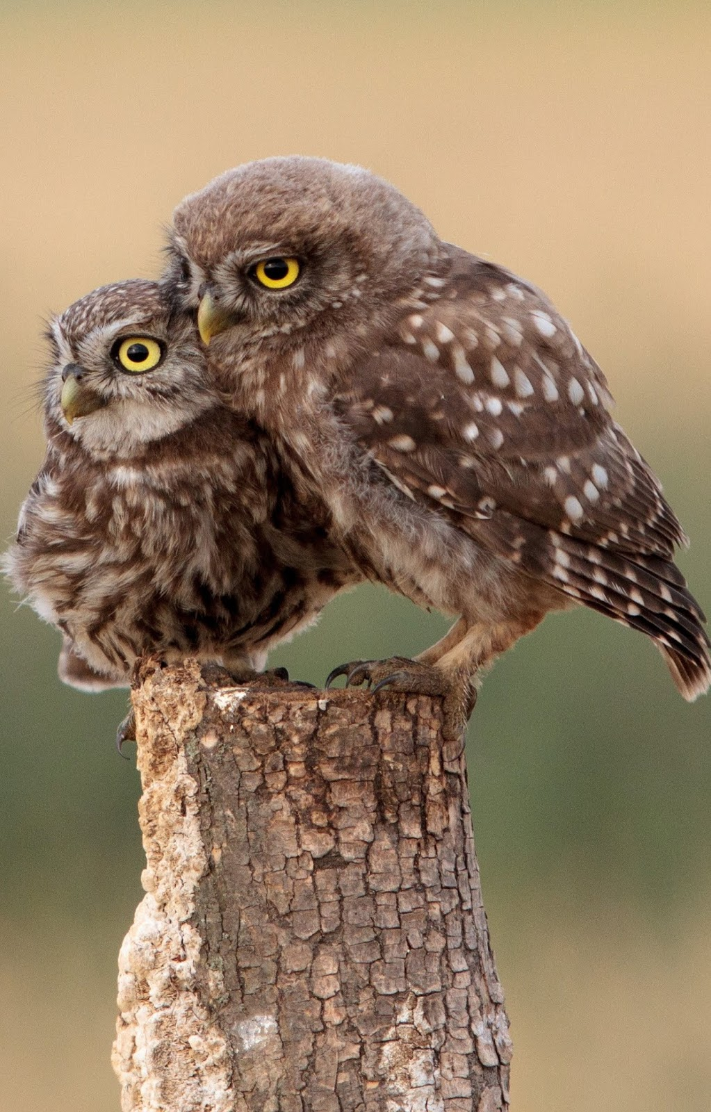Pair of cute owls.